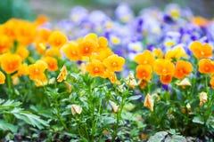 Piękny pansy, altówka lub fiołek, kwitniemy w ogródzie fotografia stock