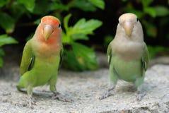 piękny papuzi pet fotografia stock