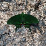 Piękny Paryski Pawi motyl je kopalinę w naturze Obrazy Royalty Free