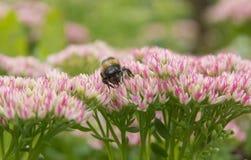 Piękny pasiasty bumblebee i pszczoły fotografia royalty free