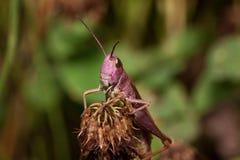 Piękny pasikonik siedzi na wysuszonym kwiacie Zwierzęta w przyrodzie Zdjęcie Stock