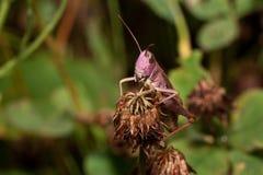 Piękny pasikonik siedzi na wysuszonym kwiacie Zwierzęta w przyrodzie Fotografia Stock