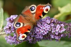 Piękny Pawi motyl, Aglais io, umieszczający na buddleia kwiacie z swój skrzydłami otwiera nectaring Zdjęcia Stock