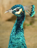 Piękny pawi szyi i głowy szczegół (Pavo Cristatus) Zdjęcia Stock