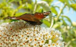 Piękny Pawiego motyla karmienie na kwiacie zdjęcie royalty free