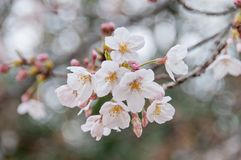 Piękny pełnego kwiatu biały czereśniowy okwitnięcie Sakura kwitnie zdjęcia royalty free