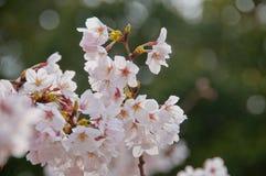 Piękny pełnego kwiatu biały czereśniowy okwitnięcie Sakura kwitnie zdjęcie royalty free