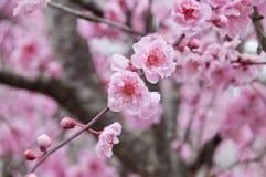 Piękny pełnego kwiatu czereśniowego okwitnięcia menchii Sakura drzewo zdjęcia royalty free