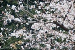 Piękny pełnego kwiatu czereśniowego okwitnięcia Sakura drzewo obrazy stock
