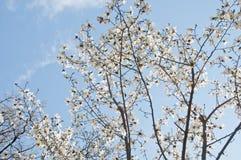 Piękny pełnego kwiatu czereśniowego okwitnięcia Sakura drzewo z błękitny jaskrawym obrazy royalty free