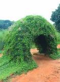 Piękny pełzacz rośliny łuk zdjęcie royalty free