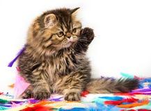 Piękny Perski figlarka kota marmuru koloru żakiet na białym tle obrazy stock