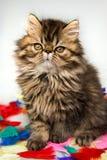 Piękny Perski figlarka kota marmuru koloru żakiet na białym tle zdjęcia stock