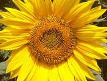 Piękny, piękno, botanika, jaskrawa, kolor, kultywujący, pole, flora, kwiecista, kwitnie, uprawia ogródek, złoty, zielony, liść, ś Obraz Royalty Free
