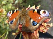 Piękny, piękno, motyl, zbliżenie, kolor, kolorowy, kwitnie, uprawia ogródek, winogrono, zieleń, zdrowa, insekt, liść, liście, nat Fotografia Stock