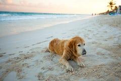 Piękny pies na plaży zdjęcia royalty free
