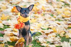 Piękny pies, szczeniak siedzi na tle jesieni ulistnienie w żółtym szaliku z pampons Fotografia Royalty Free