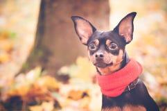 Piękny pies, szczeniak siedzi na tle jesieni ulistnienie w żółtym szaliku z pampons Obraz Royalty Free