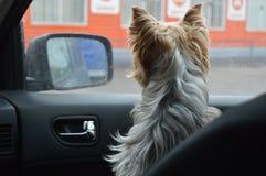 Pi?kny pies za okno zdjęcia royalty free