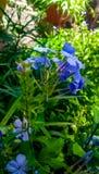 Piękny plumbago aurculata kwiat z pięknym tłem i słusznie klikający z prawym ostrość punktem zdjęcie royalty free