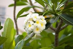Piękny plumeria kwiat, okwitnięcie i Fotografia Stock