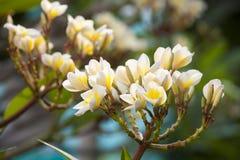 Piękny plumeria kwiat, okwitnięcie i Obrazy Royalty Free