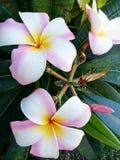 Piękny Plumeria Kwitnie, kwiat rośliny, menchii Plumeria kwiat zdjęcia stock