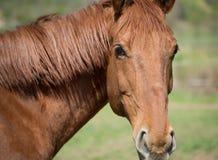 Piękny podpalany koloru koń zdjęcie stock
