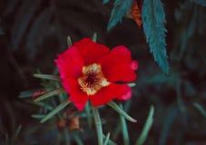 Piękny pojedynczy czerwony kwiat astery ciemne tła abstrakcyjne Przestrzeń w tle dla kopii, tekst, twój słowa Obrazy Royalty Free