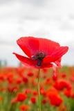 Piękny pojedynczy czerwony kwiat w okwitnięciu Zdjęcia Royalty Free