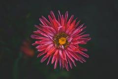 Piękny pojedynczy Różowy kwiat astery ciemne tła abstrakcyjne Przestrzeń w tle dla kopii, tekst, twój słowa Fotografia Royalty Free
