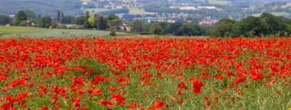Piękny pole czerwony maczek kwitnie przy opóźnionym Majem Długi sztandaru format Obrazy Stock