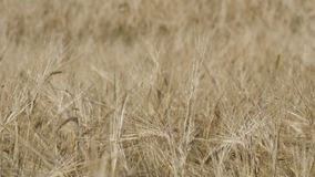Piękny pole dojrzała banatka, spikelets pszeniczny kołysanie w wiatrze zbiory