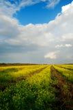 Piękny pole jaskrawy żółty rapeseed Fotografia Stock