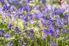 Piękny pole Rodzimi Bluebells w drewnie z zamazanym tłem obrazy stock