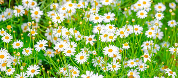 Piękny pole zielona trawa i rumianki jako tło, pano Zdjęcia Stock