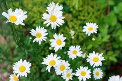 Piękny pole zielona trawa i rumianki jako tło w naturze Zdjęcia Stock