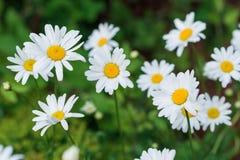 Piękny pole zielona trawa i rumianki jako tło w naturze Obraz Royalty Free