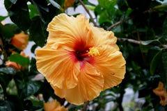 Piękny pomarańcze, koloru żółtego, menchii poślubnik/ Zdjęcia Stock