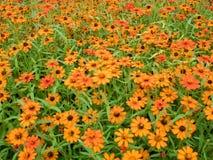 Piękny pomarańczowy cynia kwiatów ogród, sad Fotografia Stock