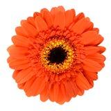 Piękny Pomarańczowy Gerbera kwiat Odizolowywający na bielu obraz royalty free