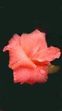 Piękny pomarańczowy gladiolusa kwiat po deszczu Zdjęcia Stock