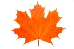 Piękny pomarańczowy liść klonowy odizolowywający na białym tle obrazy royalty free