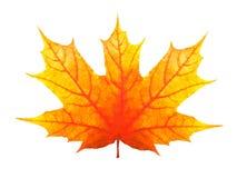Piękny pomarańczowy liść klonowy odizolowywający na białym tle obrazy stock