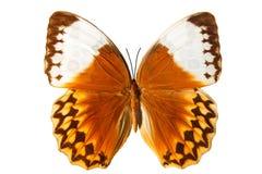 Piękny pomarańczowy motyl odizolowywający na białym tle obraz royalty free