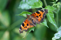 Piękny pomarańczowy motyli obsiadanie na zielonym liściu Obraz Royalty Free
