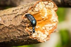Piękny pomarańczowy motyli obsiadanie na zielonym liściu w lata forestA pięknym zbliżeniu zmrok - błękitna ściga na drzewnym baga Zdjęcie Royalty Free