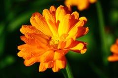 Piękny pomarańczowy nagietka calendula zbliżenie Obrazy Royalty Free