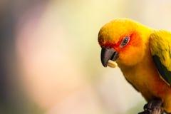 Piękny pomarańczowy papuzi łasowanie Zdjęcie Stock