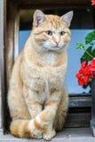 piękny pomarańczowy tomcat fotografia royalty free